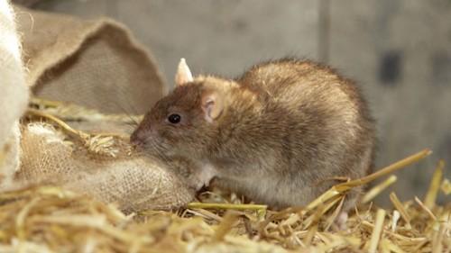 rat1-615x346