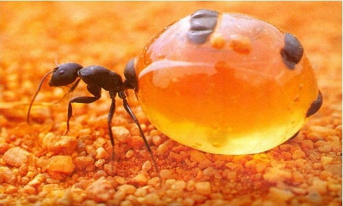 VNE-Honeypot-Ants-Live-food-st-1687-2599-1444732258