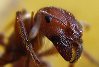 Ant_head_closeup (1)