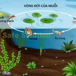 Vòng đời của muỗi